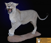African Lioness mount, African Lioness full body mount, African lioness lifesize mount