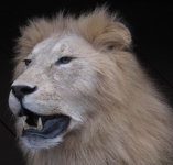 African Lion taxidermy open mouth