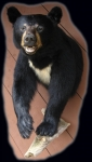 Black Bear, half mount