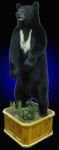 Black Bear, Lifesize on Finished Cedar Habitat