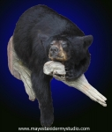 Black Bear Half Mount, Bear Half Mount, Black Bear Half Lifesize Mount