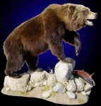 Brown Bear Full Mount on Habitat with Rocks and Sockeye Salmon