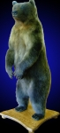 Brown Bear Lifesize Mount, Standing on Finished Oak Base, No Habitat