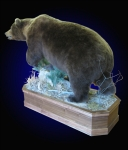 Brown Bear Lifesize Mount on Walnut Habitat
