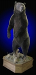 Brown Bear Full Mount standing, mouth open panting on finished walnut base