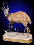 Bushbuck, Lifesize on Finished Oak Base with habitat.