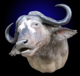 Cape Buffalo, Standard Shoulder Mount, Mouth Open