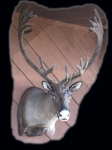 Caribou, Standard Shoulder Mount, In Velvet