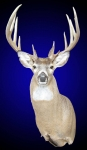 Whitetail Deer, Standard Shoulder Mount, Upright