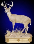 Whitetail Deer, Lifesize, Front Elevated, on Finished Hickory Base