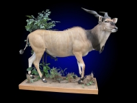 Giant Eland, Lifesize