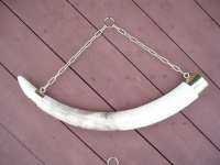 Elephant Tusk Mount, Polished Brass Holder and Chain