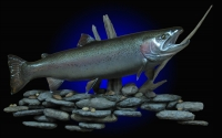 Steelhead Mount, on river rock habitat scene