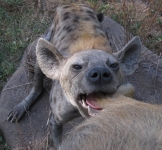 Full mount leopard with Baboon and Hyena
