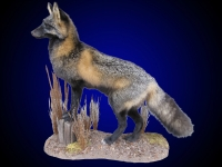 Cross fox on tabletop / floor habitat scene.