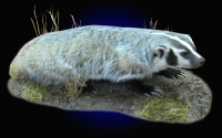 Badger on tabletop habitat scene.