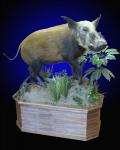 Bushpig, Lifesize on Walnut Base
