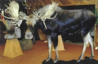 Moose, Lifesize
