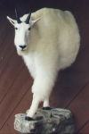 Mountain Goat, Half Lifesize