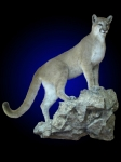 Mountain Lion Full Mount,  Front Elevated, On Wall Mounted Rock Ledge