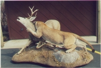 Mountain Lion Lifesize  Attacking Mule Deer 