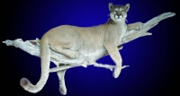 Mountain Lion LifesizeMount on Wall Mount Branch
