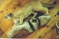 Mountain Lion Lifesize, Walking Downhill, Rock Base