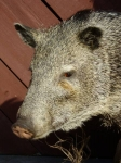 Peccary Face Close-up