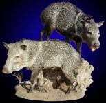 Peccary, Lifesize Pair on Habitat