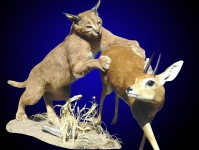 Caracal Attacking Steenbok