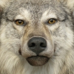 Wolf, Face Close-up