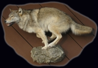 Wolf, Lifesize, Running on Rock Ledge