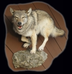Wolf, Lifesize, Running on Rock Ledge #2