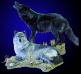 Wolves, Lifesize, Standing, Howling & Lying Down